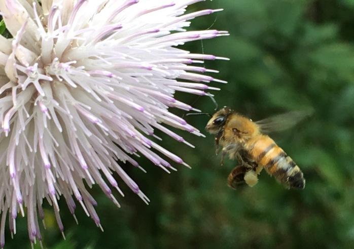 Honey bee foraging on Bull Thistle.
