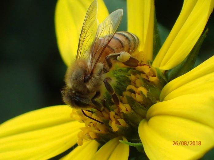 Honey bee foraging on Sunchoke (Jerusalem Artichoke)