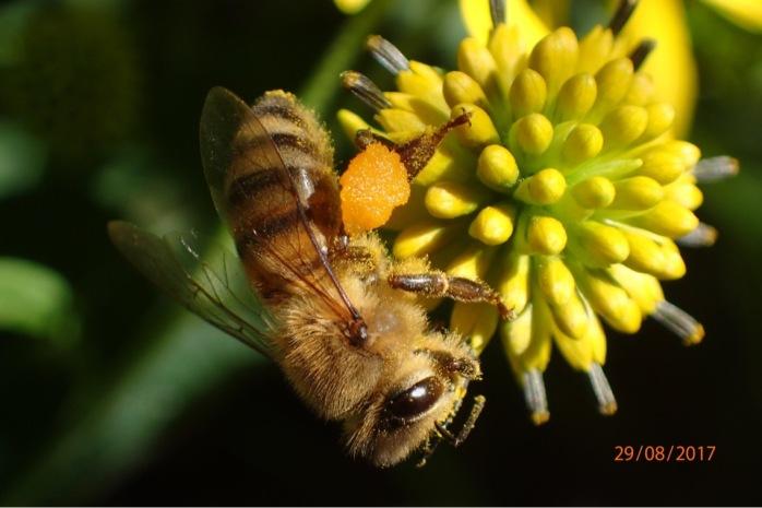 Honey bee foraging on Wild Golden Glow cone flower
