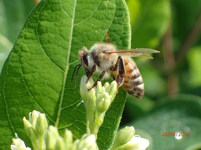 Honey bee foraging on Dogbane