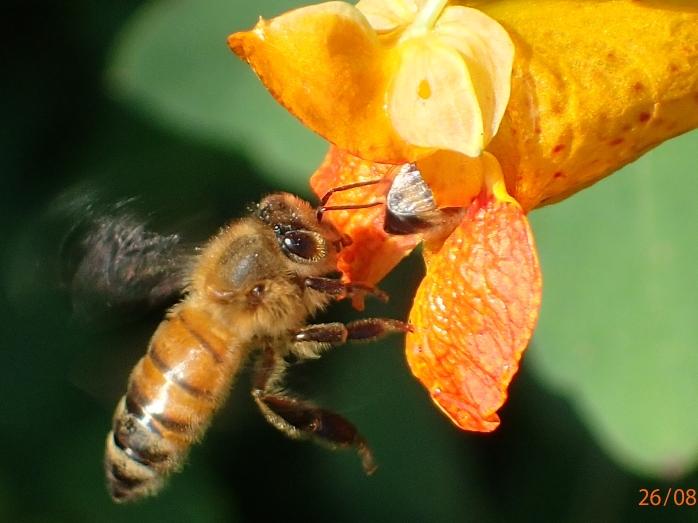 Honey bee foraging on Jewelweed
