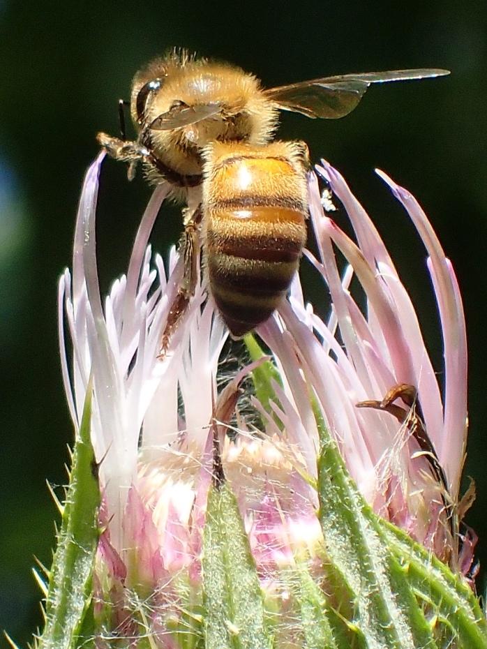 Honey Bee foraging on Bull Thistle