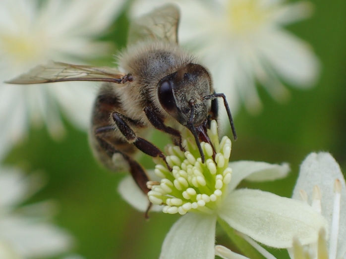 Honey bee foraging on Clematis.