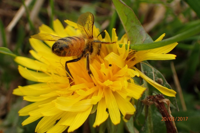 Honey bee foraging on Dandelion.